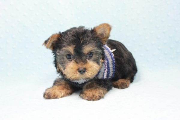 Michael Phelps - Teacup Yorkie Puppy In L.A found A New Loving Home -12016