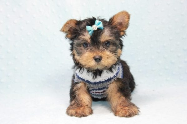 Michael Phelps - Teacup Yorkie Puppy In L.A found A New Loving Home -12019