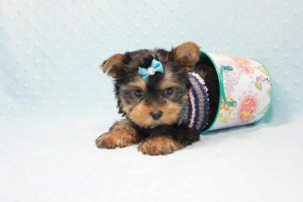 Michael Phelps - Teacup Yorkie Puppy In L.A found A New Loving Home -12012