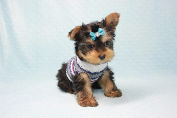 Michael Phelps - Teacup Yorkie Puppy In L.A found A New Loving Home -12014