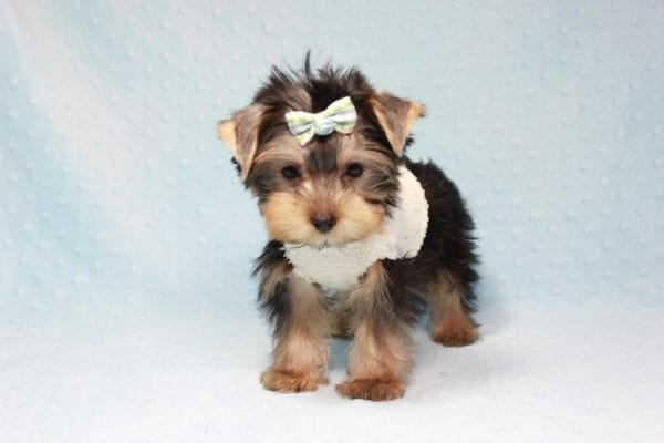 Nathan Adrian - Teacup Yorkie Puppy In L.A Found A New Loving Home With Assad From Fresno CA 9370-11906