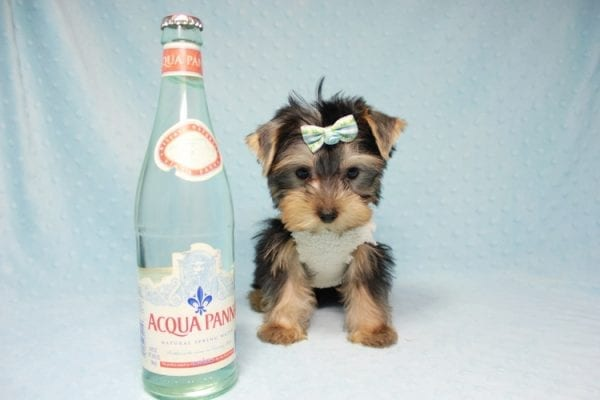 Nathan Adrian - Teacup Yorkie Puppy In L.A Found A New Loving Home With Assad From Fresno CA 9370-11909