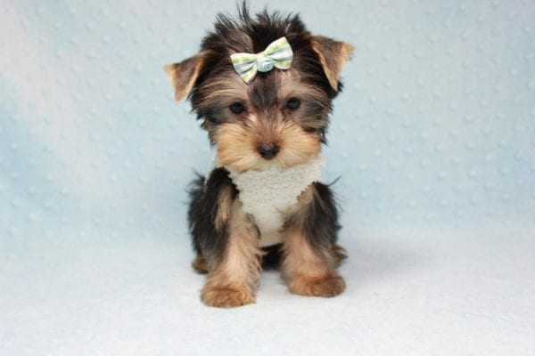 Nathan Adrian - Teacup Yorkie Puppy In L.A Found A New Loving Home With Assad From Fresno CA 9370-11908