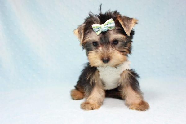 Nathan Adrian - Teacup Yorkie Puppy In L.A Found A New Loving Home With Assad From Fresno CA 9370-11907