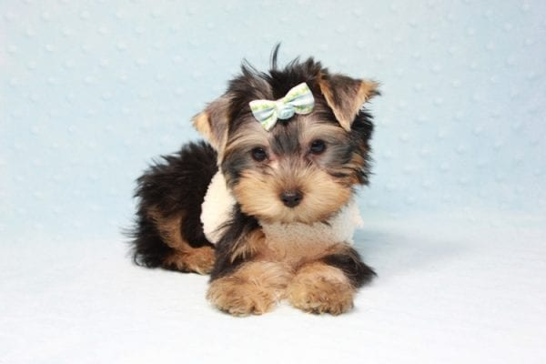 Nathan Adrian - Teacup Yorkie Puppy In L.A Found A New Loving Home With Assad From Fresno CA 9370-11904