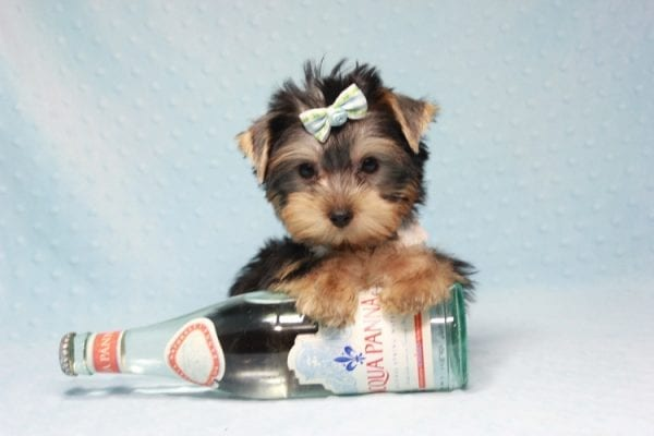 Nathan Adrian - Teacup Yorkie Puppy In L.A Found A New Loving Home With Assad From Fresno CA 9370-11911