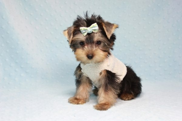 Nathan Adrian - Teacup Yorkie Puppy In L.A Found A New Loving Home With Assad From Fresno CA 9370-11905