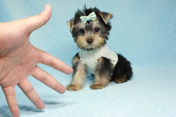 Nathan Adrian - Teacup Yorkie Puppy In L.A Found A New Loving Home With Assad From Fresno CA 9370-0