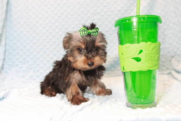 Nickelodeon - Toy Yorkie Puppy has found a good loving home with Jaysha from San Francisco, CA 94112-12067