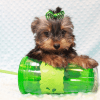 Nickelodeon - Toy Yorkie Puppy has found a good loving home with Jaysha from San Francisco, CA 94112-0