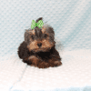 Nickelodeon - Toy Yorkie Puppy has found a good loving home with Jaysha from San Francisco, CA 94112-12065
