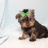 Nickelodeon - Toy Yorkie Puppy has found a good loving home with Jaysha from San Francisco, CA 94112-12066