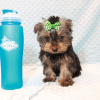 Nickelodeon - Toy Yorkie Puppy has found a good loving home with Jaysha from San Francisco, CA 94112-12069