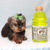 Nickelodeon - Toy Yorkie Puppy has found a good loving home with Jaysha from San Francisco, CA 94112-12068