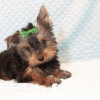 Nickelodeon - Toy Yorkie Puppy has found a good loving home with Jaysha from San Francisco, CA 94112-12063