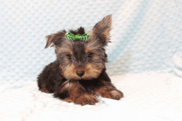 Nickelodeon - Toy Yorkie Puppy has found a good loving home with Jaysha from San Francisco, CA 94112-12064
