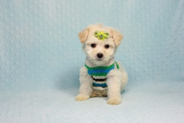 Novak Djokovic - Teacup Maltipoo Puppy found his loving home with Angela in Simi Valley, CA-12030