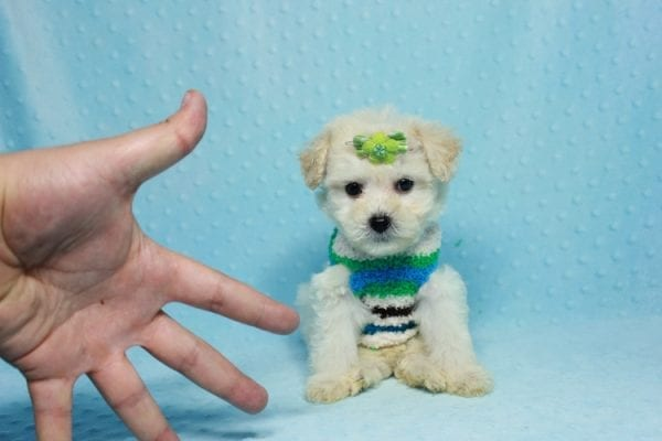 Novak Djokovic - Teacup Maltipoo Puppy found his loving home with Angela in Simi Valley, CA-12028
