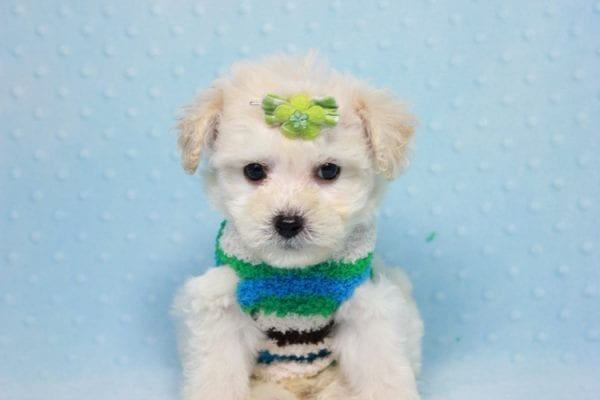 Novak Djokovic - Teacup Maltipoo Puppy found his loving home with Angela in Simi Valley, CA-12031