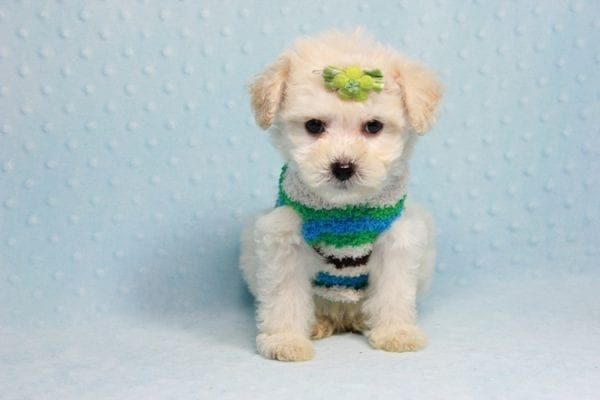 Novak Djokovic - Teacup Maltipoo Puppy found his loving home with Angela in Simi Valley, CA-12026