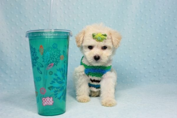 Novak Djokovic - Teacup Maltipoo Puppy found his loving home with Angela in Simi Valley, CA-0