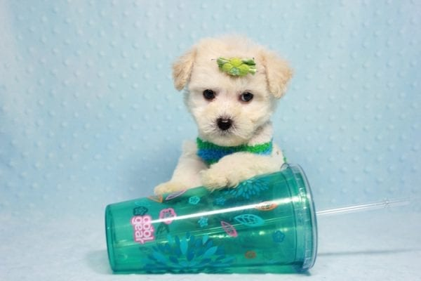 Novak Djokovic - Teacup Maltipoo Puppy found his loving home with Angela in Simi Valley, CA-12027