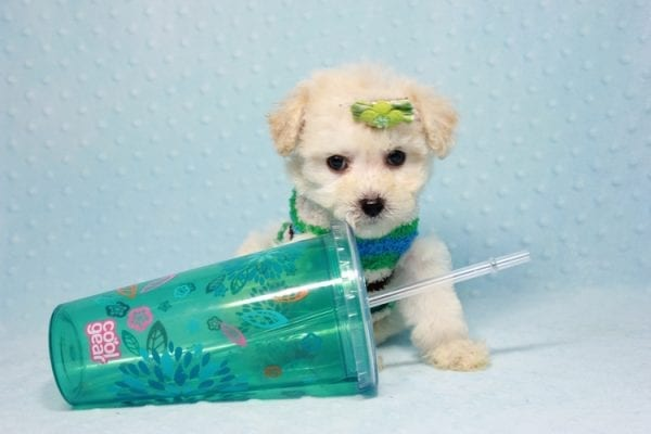 Novak Djokovic - Teacup Maltipoo Puppy found his loving home with Angela in Simi Valley, CA-12029