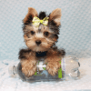 Paw Patrol - Teacup Yorkie Puppy has found a good loving home with TERRANCE FROM MURRIETA, CA 92562-12398