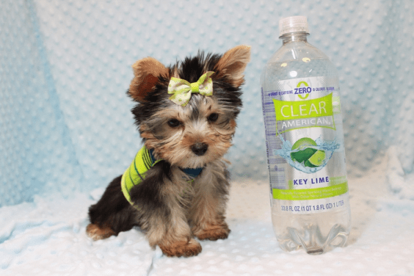 Paw Patrol - Teacup Yorkie Puppy has found a good loving home with TERRANCE FROM MURRIETA, CA 92562-12397