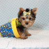 Paw Patrol - Teacup Yorkie Puppy has found a good loving home with TERRANCE FROM MURRIETA, CA 92562-12393