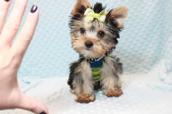 Paw Patrol - Teacup Yorkie Puppy has found a good loving home with TERRANCE FROM MURRIETA, CA 92562-12395