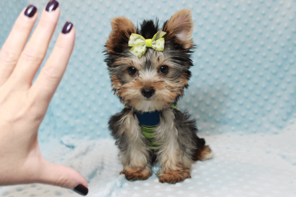 Paw Patrol - Teacup Yorkie Puppy has found a good loving home with TERRANCE FROM MURRIETA, CA 92562-0