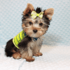 Paw Patrol - Teacup Yorkie Puppy has found a good loving home with TERRANCE FROM MURRIETA, CA 92562-12399