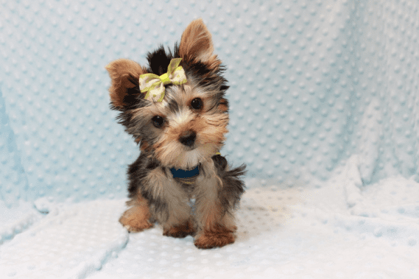 Paw Patrol - Teacup Yorkie Puppy has found a good loving home with TERRANCE FROM MURRIETA, CA 92562-12394