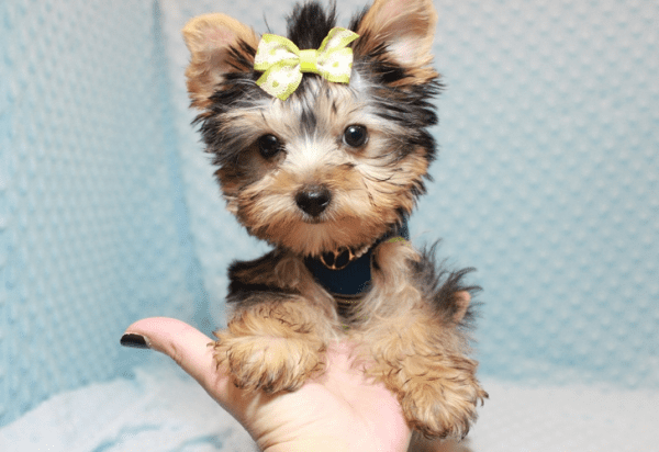 Paw Patrol - Teacup Yorkie Puppy has found a good loving home with TERRANCE FROM MURRIETA, CA 92562-12396