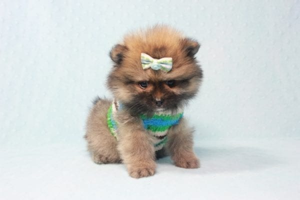 Prince George - Small Pomeranian Puppy in L.A Found A New Loving Home-12086