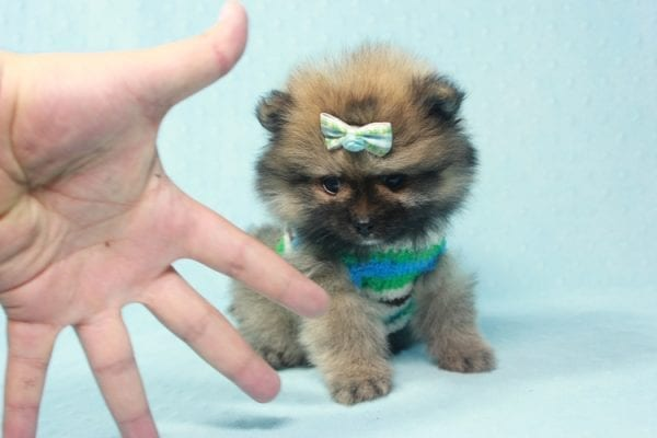 Prince George - Small Pomeranian Puppy in L.A Found A New Loving Home-12085