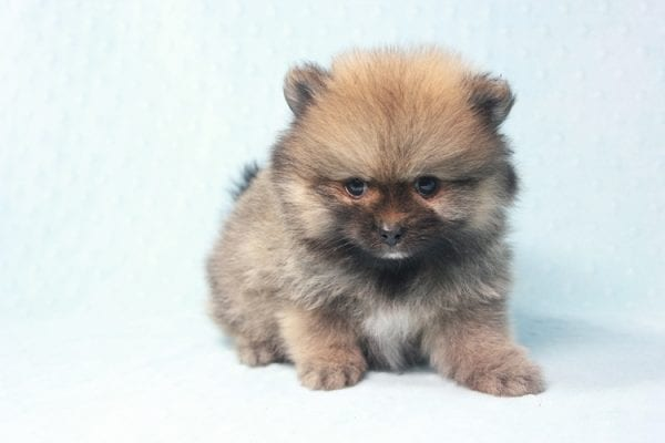 Prince George - Small Pomeranian Puppy in L.A Found A New Loving Home-12089
