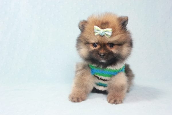 Prince George - Small Pomeranian Puppy in L.A Found A New Loving Home-12088
