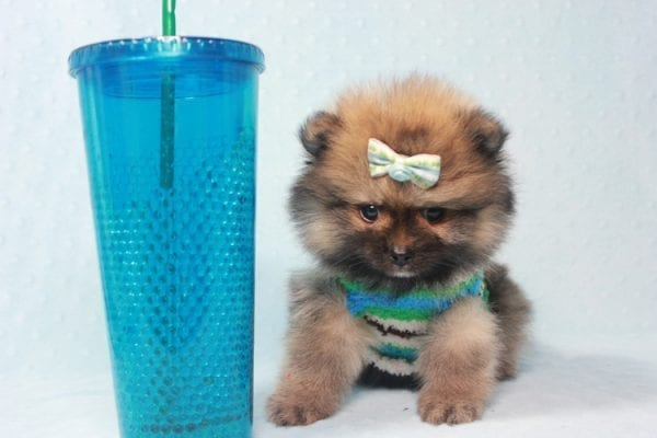 Prince George - Small Pomeranian Puppy in L.A Found A New Loving Home-0