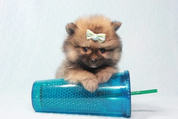 Prince George - Small Pomeranian Puppy in L.A Found A New Loving Home-12087