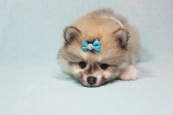 Prince Harry - Small Pomeranian Puppy Found His Lving Home with That Dong from Lakewood CA-12093