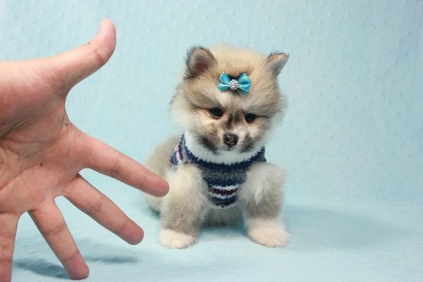 Prince Harry - Small Pomeranian Puppy Found His Lving Home with That Dong from Lakewood CA-12101