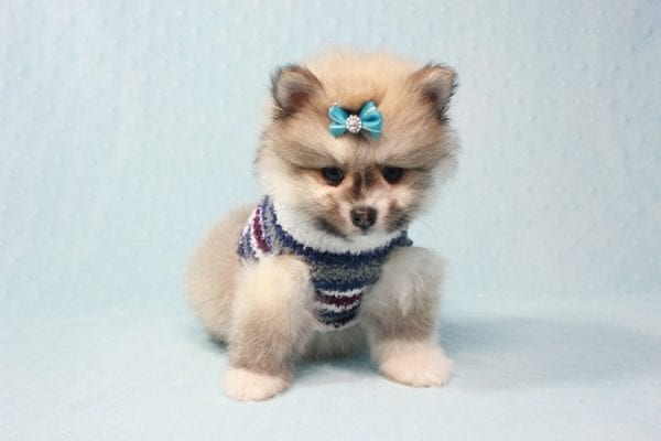 Prince Harry - Small Pomeranian Puppy Found His Lving Home with That Dong from Lakewood CA-12091