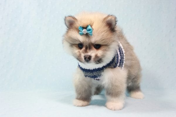 Prince Harry - Small Pomeranian Puppy Found His Lving Home with That Dong from Lakewood CA-12090