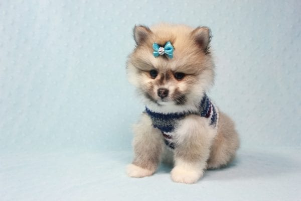 Prince Harry - Small Pomeranian Puppy Found His Lving Home with That Dong from Lakewood CA-12092