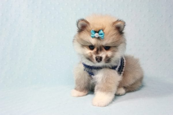 Prince Harry - Small Pomeranian Puppy Found His Lving Home with That Dong from Lakewood CA-12095
