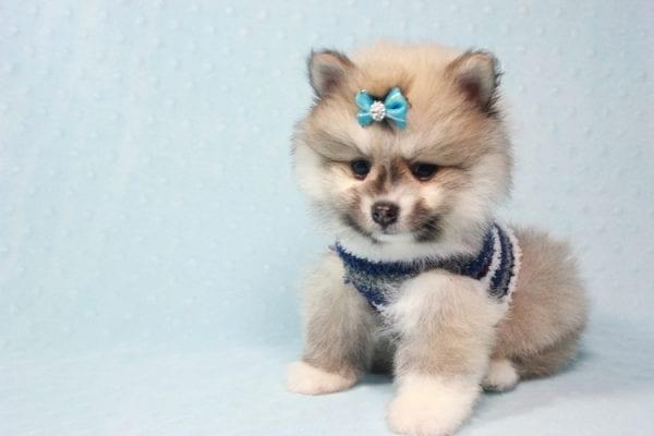 Prince Harry - Small Pomeranian Puppy Found His Lving Home with That Dong from Lakewood CA-12097
