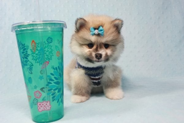 Prince Harry - Small Pomeranian Puppy Found His Lving Home with That Dong from Lakewood CA-0