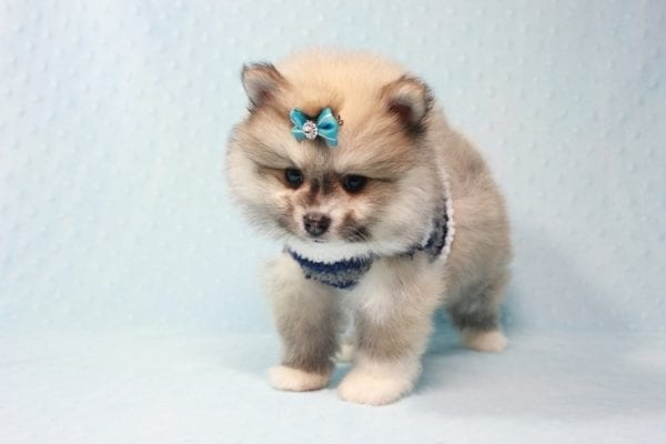 Prince Harry - Small Pomeranian Puppy Found His Lving Home with That Dong from Lakewood CA-12094